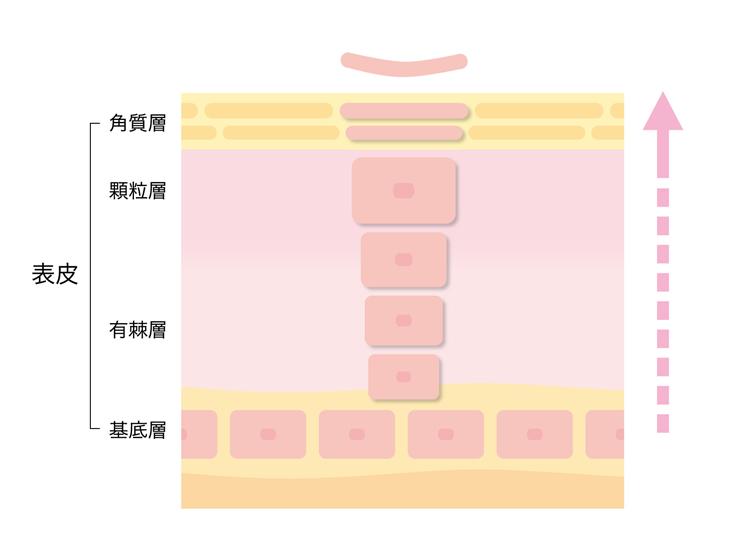 bi 142 02 表皮は死んでる細胞!美しい肌のために、はがして捨てるのが正解!